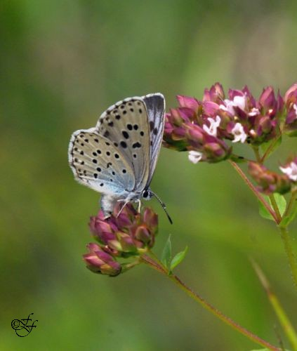 Maculinea arion, Large Blue