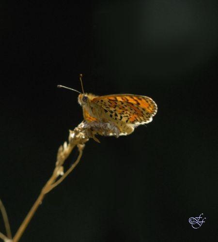 Mellitea trivia, Lesser Spotted Fritillary