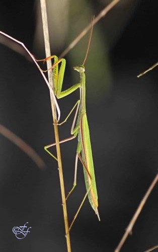 Mantis religiosa, Praying Mantis