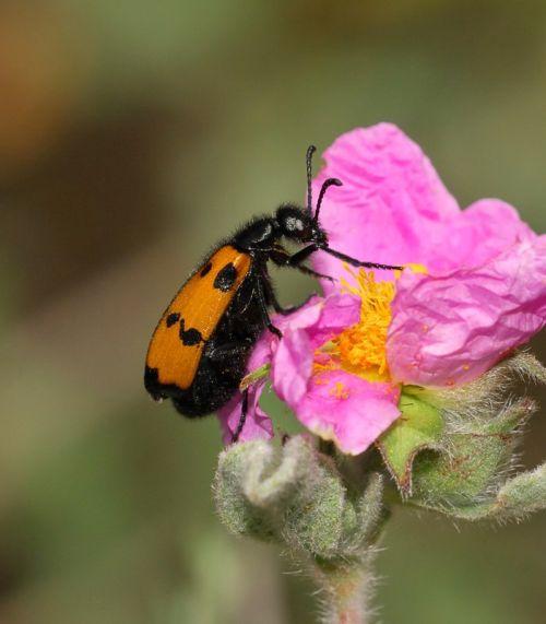 Mylabris variabilis, Blister Beetle
