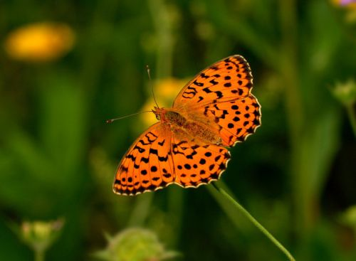 Marbled Fritillary, Brenthis daphne