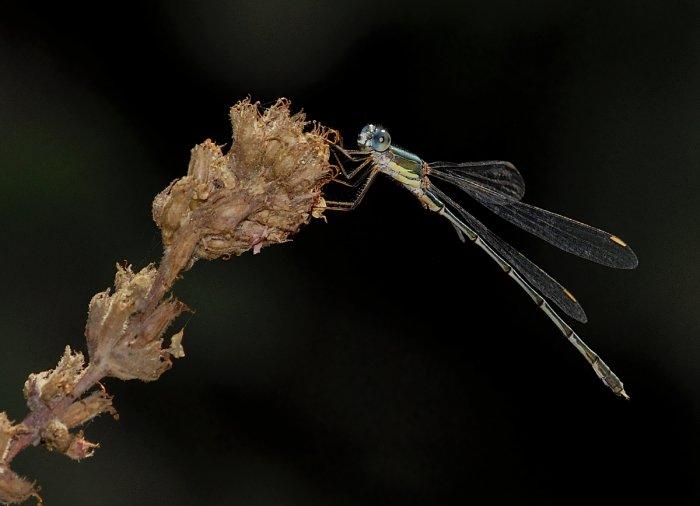Male Lestes viridis