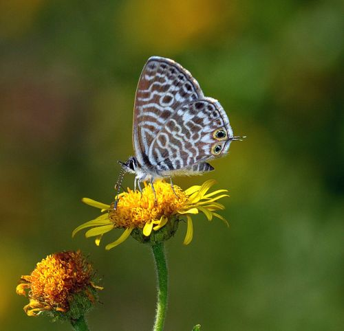 Lang's Short-tailed Blue, Leptotes pirithous