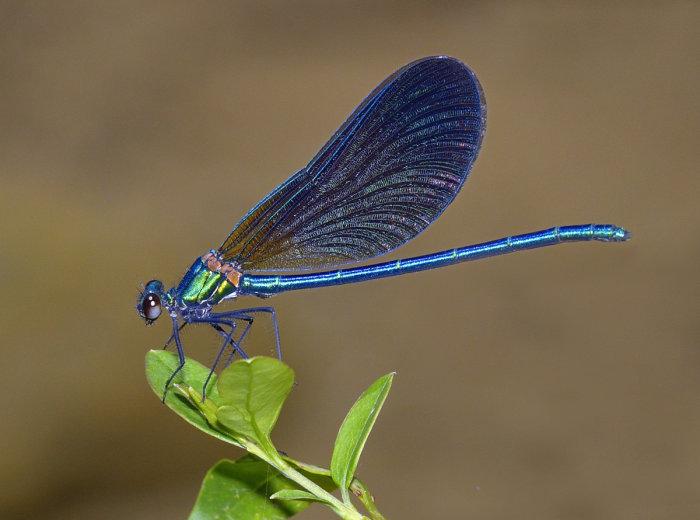 Calopteryx virgo male