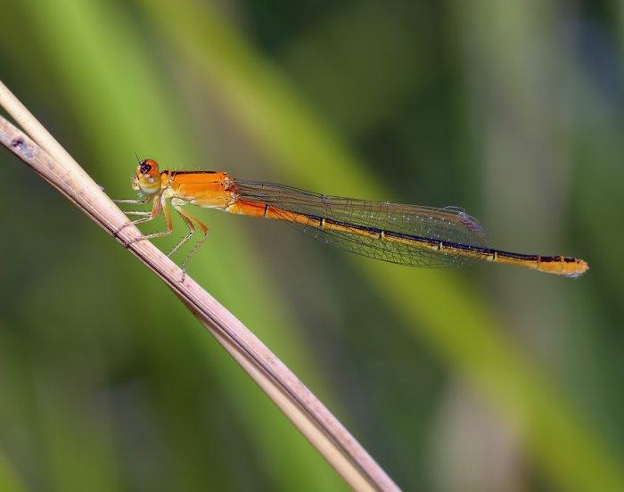 Ischnura pumilio - immature female