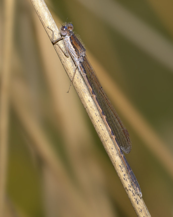 male Sympecma fusca in camouflage position