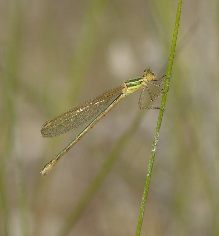 immature female Lestes barbarus