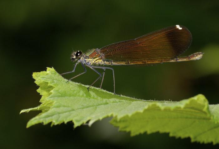 Calopteryx haemorrhoidalis female 2