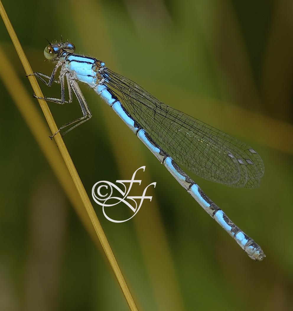 female Enallagma cyathigerum