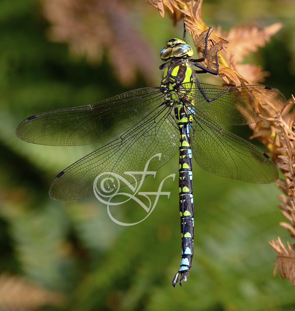 Aeshna cyanea - male