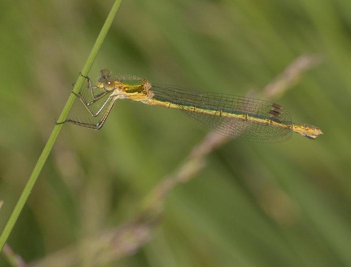 Female Lestes sponsa