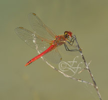 male Sympetrum fonscolombii