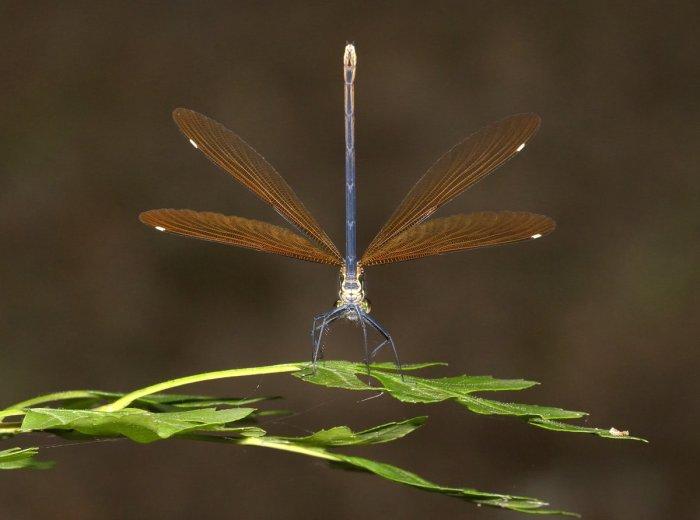 Female Calopteryx virgo - 'wing-flicking'
