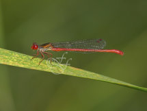 male Ceriagrion tenellum