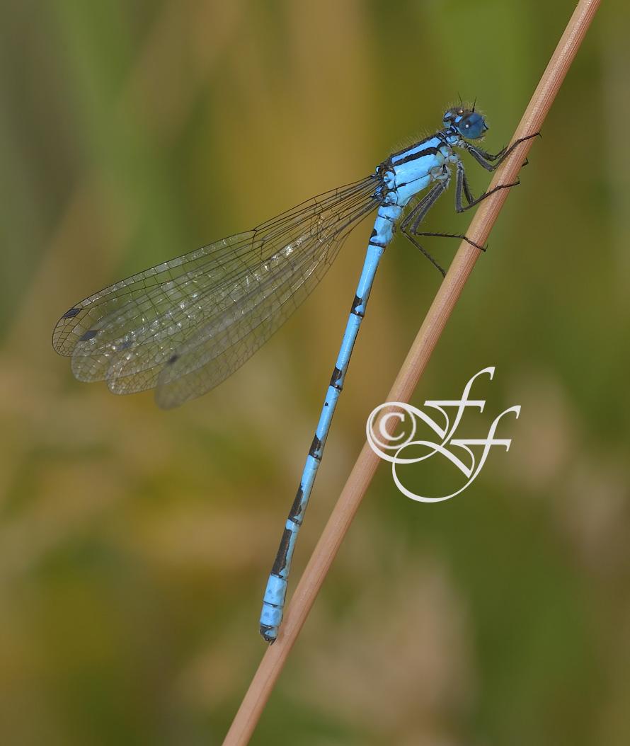 male Enallagma cyathigerum