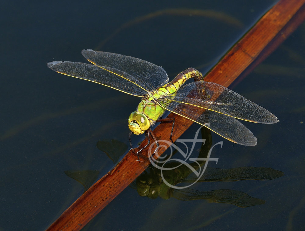 Anax imperator - green female