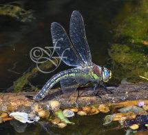 female Brachytron pratense