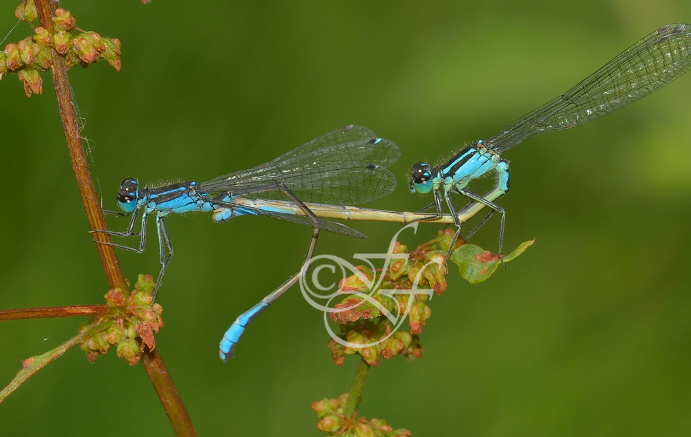Ischnura elegans copula -blue female