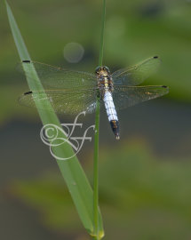 male Orthetrum albistylum