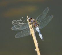 mature male Libellula fulva