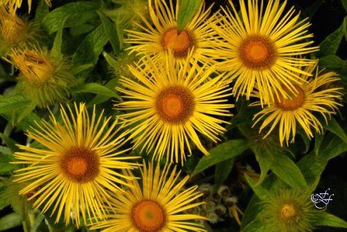 Doronicum cultivar