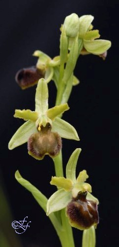 Ophrys sphegodes, Early Spider Orchid