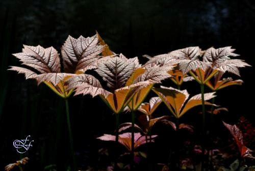 Rodgersia cultivar