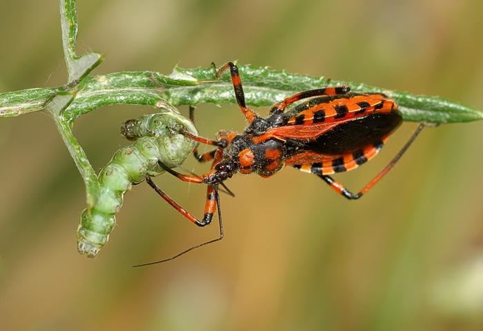 Assassin Bug at work