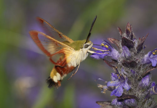 Bee Hawk Moth 2