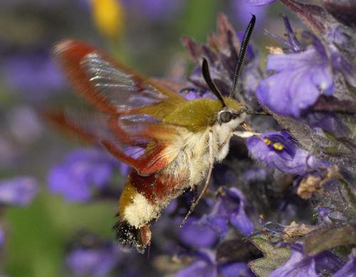 Bee Hawk Moth 4