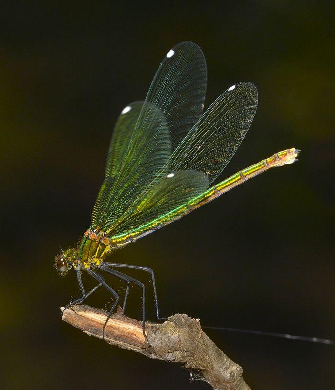 Calopteryx virgo 2