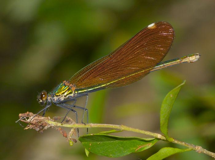 Calopteryx virgo 4