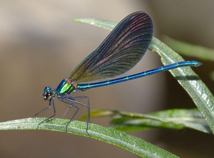Calopteryx virgo 6