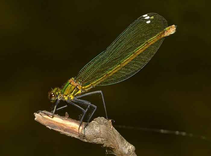 Calopteryx virgo 7