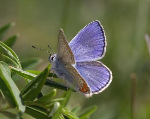 Chapman's Blue (male) 1