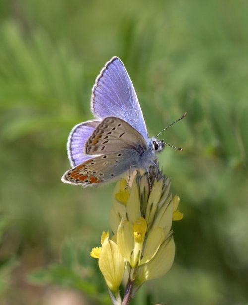 Chapman's Blue (male) 2