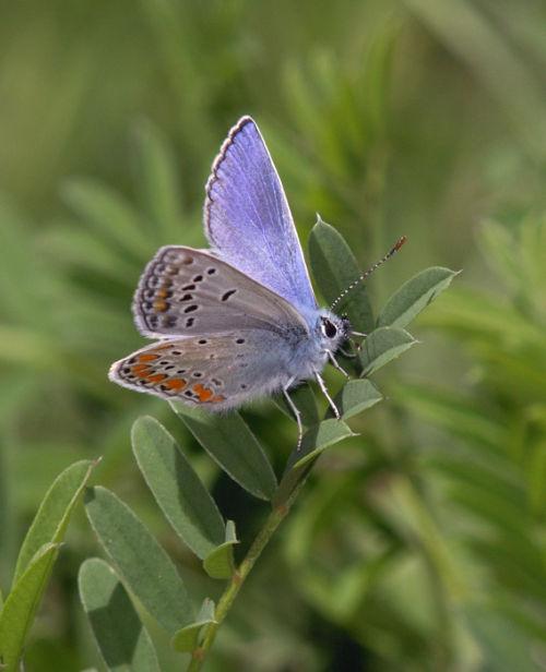 Chapman's Blue (male) 3