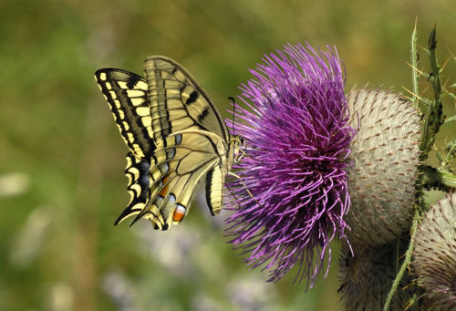 Common Swallowtail