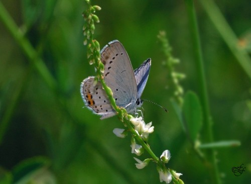 Everes argiades, Short-tailed Blue