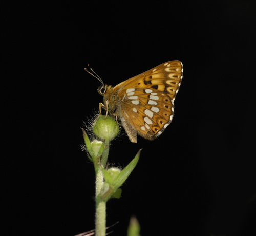 Hamearis lucina, Duke of Burgundy Fritillary
