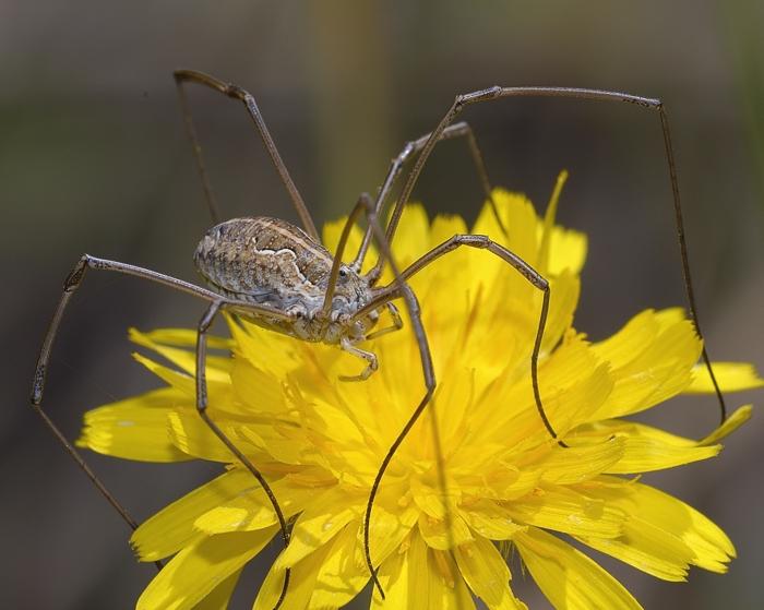 Harvestman spider (Mitopus)