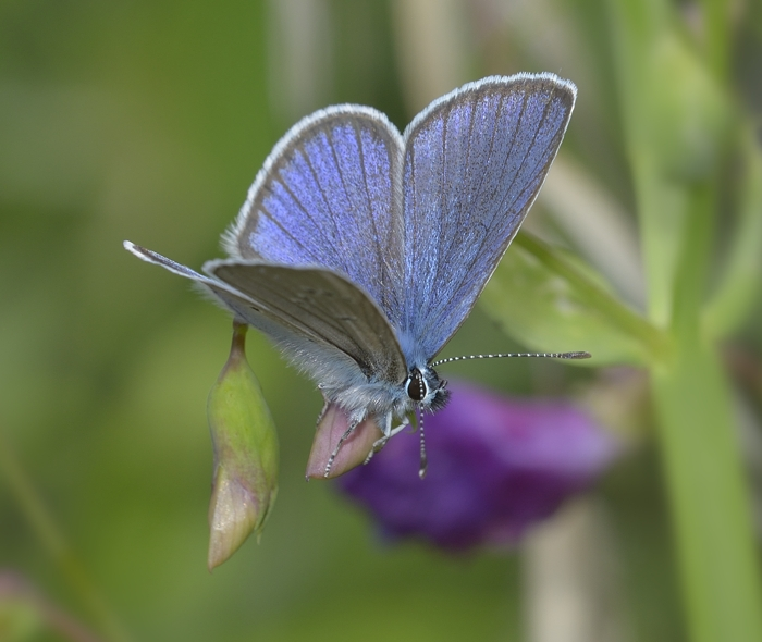 Mazarine Blue (C. semiargus)