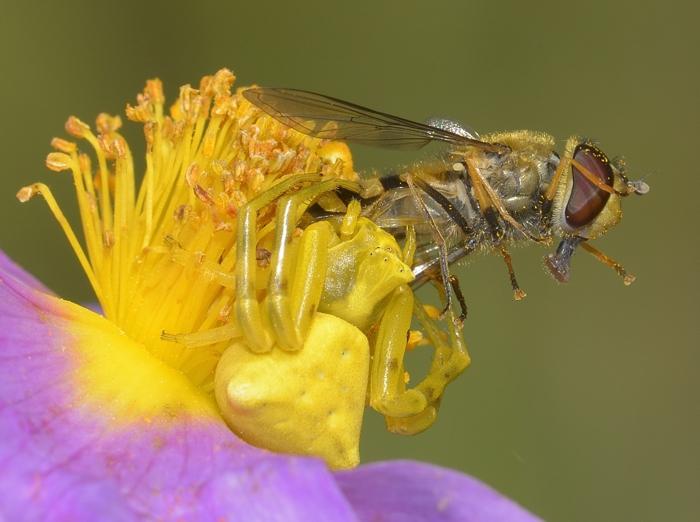 Misumena vatia with Hover Fly