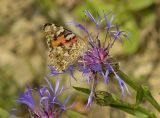 Painted Lady on Perennial Cornflower