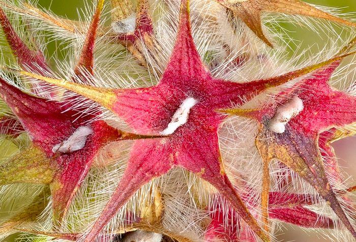 Trifolium stellatum 2