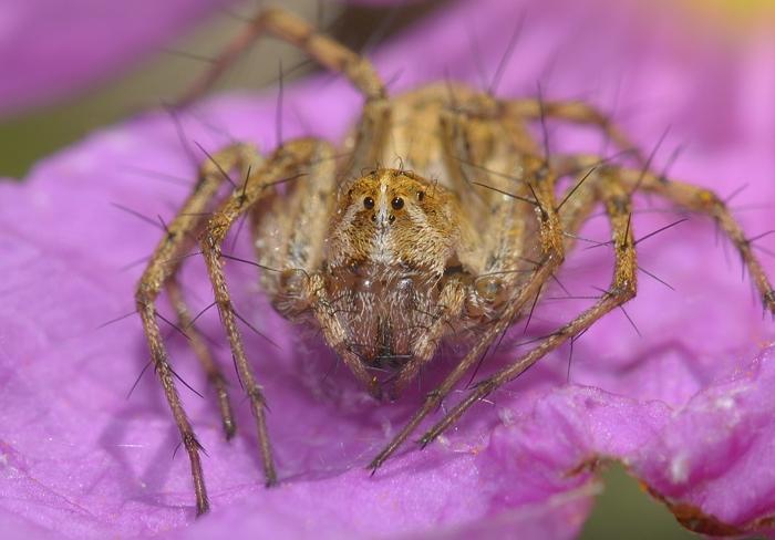 depressed spider