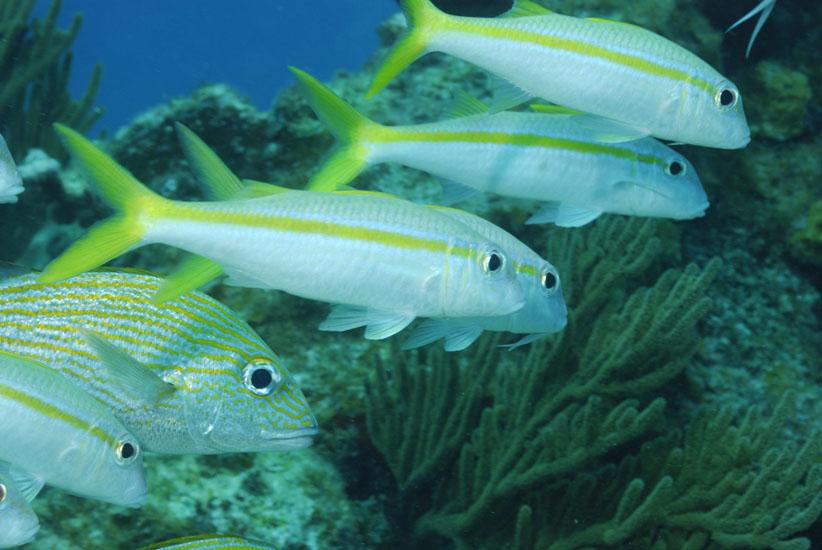 Yellow Goatfish  <i>Mulloidichthys martinicus</i>