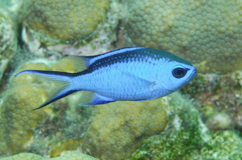 Blue Chromis  <i>Chromis cyanea</i>