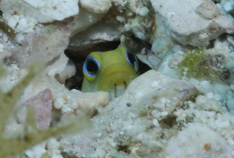 Yellowhead Jawfish  <i>Opistognathus aurifrons</i>