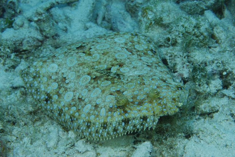Peacock Flounder  <i>Bothus lunatus</i>